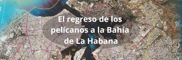 El regreso de los pelícanos a la Bahía de La Habana